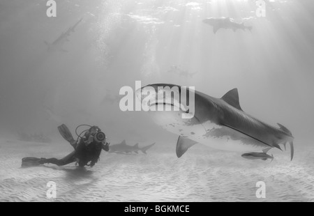 A Tiger Shark (Galeocerdo cuvier) swims under sunbeams while a scuba diving videographer films. - Stock Photo