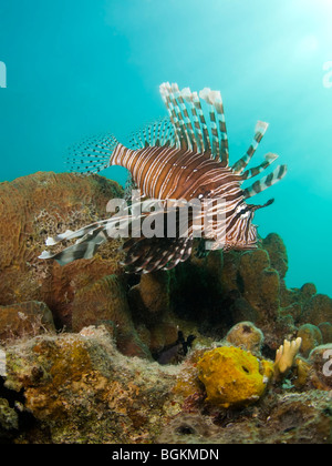 A red Lionfish (Pterois volitans) above coral encrusted wreckage with the sun lighting down from the surface - Stock Photo
