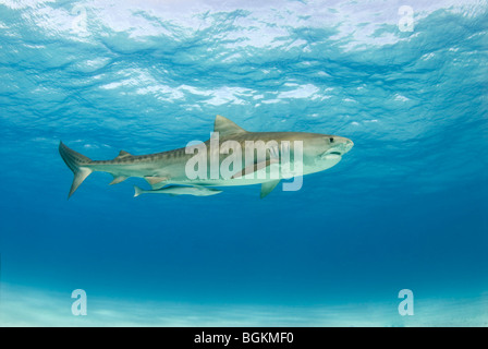 A Tiger Shark (Galeocerdo cuvier) with a remora following swimming in the blue water with the surface above and - Stock Photo