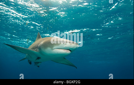 Lemon Shark (Negaprion brevirostris) turns to cross in front of the camera in open water - Stock Photo