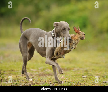 whippet dogs hunting rabbits - Stock Photo