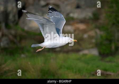 Herring gull (Larus argentatus) flying above lake - Stock Photo
