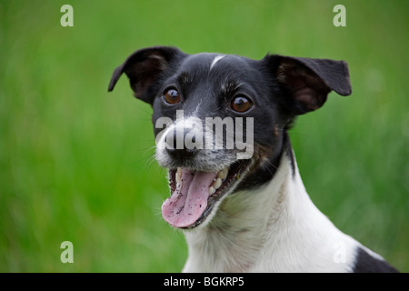 Jack Russell terrier (Canis lupus familiaris) close up in garden - Stock Photo
