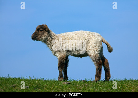 Domestic sheep (Ovis aries) portrait of black and white lamb in meadow, Germany - Stock Photo