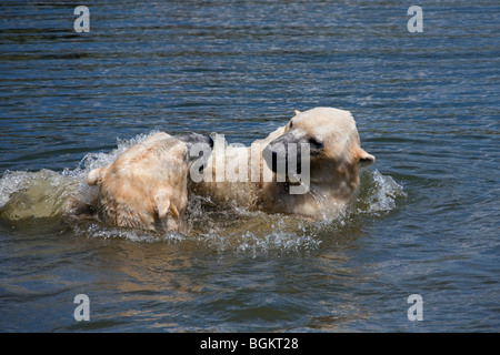 Polar bears (Ursus maritimus / Thalarctos maritimus) play fighting in the sea, Norway - Stock Photo