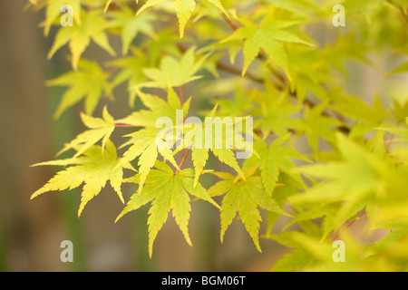 Yellow Japanese Maple leaves - Stock Photo