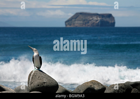 Blue-footed booby (Sula nebouxii excisa) perched on boulder on beach, North Seymour Island, Galápagos Islands - Stock Photo