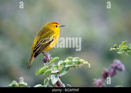 American yellow warbler (Setophaga petechia / Dendroica petechia), Lobos island, Galápagos Islands, Ecuador, Latin - Stock Photo