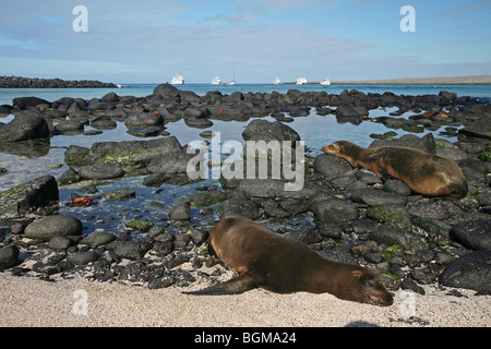 Galapagos sealions / Galápagos sea lions (Zalophus wollebaeki) on the beach, Espanola Island, Galápagos Islands, - Stock Photo