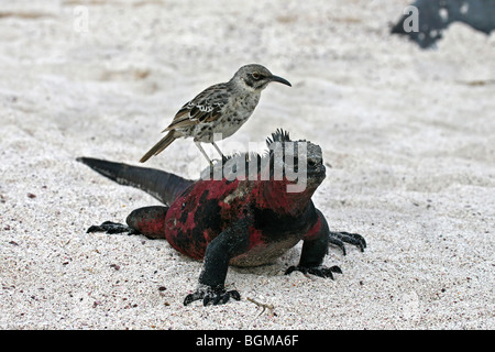 Marine iguana (Amblyrhynchus cristatus) with Hood island mockingbird (Mimus macdonaldi) on its back, Espanola Island, - Stock Photo