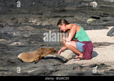 Curious Galapagos sealion / sea lion (Zalophus wollebaeki) sniffing at tourist, Puerto Egas, Santiago / San Salvador - Stock Photo