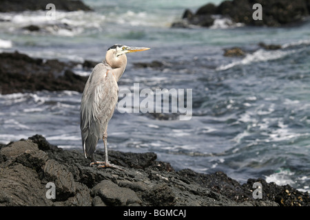 Great blue heron (Ardea herodias) on beach at Bahia Sullivan / Sullivan Bay on Santiago Island / San Salvador Island, - Stock Photo