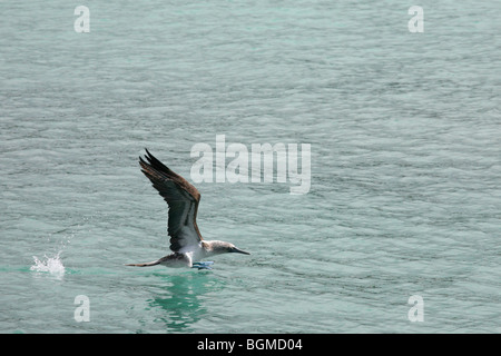 Blue-footed Booby (Sula nebouxii excisa) taking off from sea, Puerto Ayora on Santa Cruz Island, Galápagos Islands, - Stock Photo