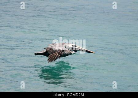 Brown pelican (Pelecanus occidentalis) flying over sea, Puerto Ayora on Santa Cruz Island, Galápagos Islands, Ecuador - Stock Photo