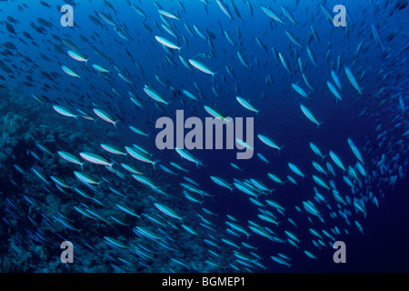 The shoal of fish of a yellowback fusilier, Maldive Islands - Stock Photo