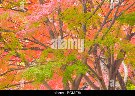 Autumnal leaves on maple tree Higashiomi Shiga Prefecture Japan - Stock Photo