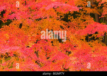Autumnal leaves on trees Otsu Shiga Prefecture Japan - Stock Photo