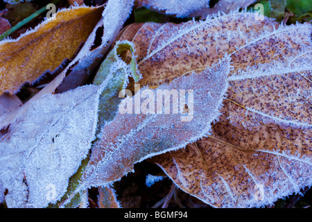 Leaves on ground covered in frost - Stock Photo