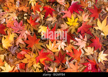 Maple leaves on ground during Autumn - Stock Photo