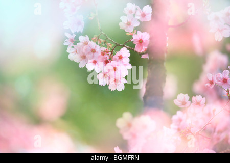 Close-up up flowers on a rosebud cherry tree - Stock Photo