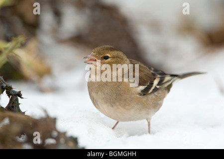 Chaffinch (Fringilla Coelebs) adult female, feeding on snow covered ground, winter, UK. - Stock Photo