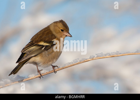 Chaffinch (Fringilla coelebs) adult female on snow covered perch, winter, UK - Stock Photo