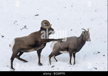 Two Bighorn Sheep on a snow covered slope in Jasper National Park Alberta Canada - Stock Photo