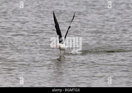 gull catching a small fish, Walvis Bay, Namibia - Stock Photo