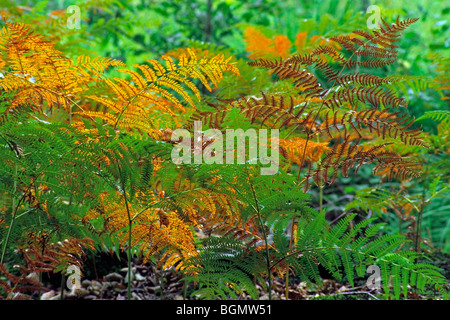 Common bracken (Pteridium aquilinum) in autumn colours in forest - Stock Photo