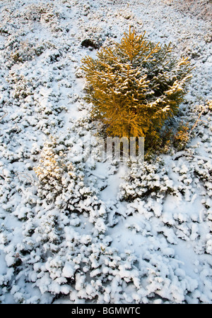 First snow covering the ground and a small spruce  ( picea abies )  sapling - Stock Photo