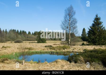 Mallards / wild ducks (Anas platyrhynchos)  swimming in pond / palsa on the moors of the Hautes Fagnes / High Fens, - Stock Photo