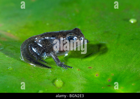 Common frog (Rana temporaria) froglet with limbs well developed but tail not started to be reabsorbed leaves the - Stock Photo