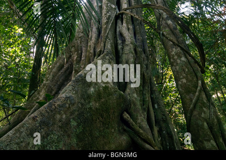 Buttress roots of ficus tree (Ficus sp.) in rain forest, Manuel Antonio National Park, Costa Rica, Central America - Stock Photo
