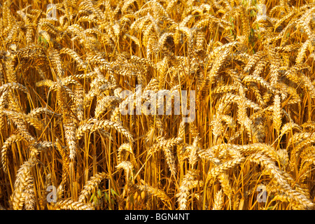 Ripe wheat (corn) in a filed ready to harvest - Stock Photo
