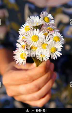 Bunch of daisies flowers being picked in the late spring - Stock Photo