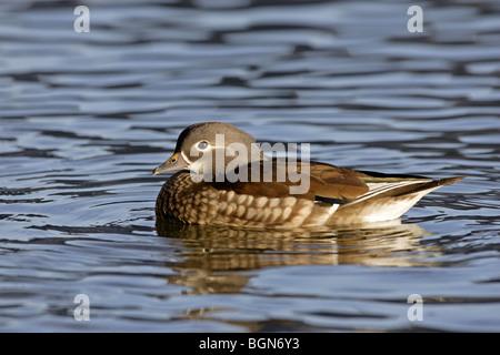 Female mandarin Duck swimming - Stock Photo