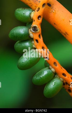 Pacaya / Tepejilote Palm (Chamaedorea tepejilote) with clump of infructescences, Tapanti NP, Costa Rica - Stock Photo