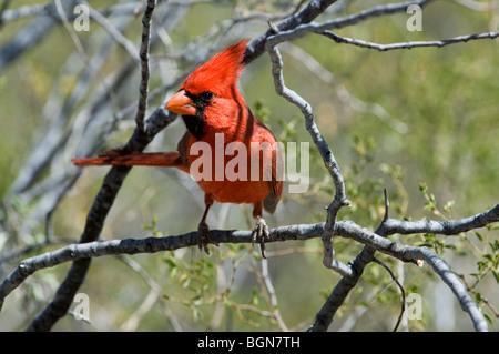 Northern cardinal (Cardinalis cardinalis) male perched in shrub, Sonoran desert, Arizona, USA - Stock Photo