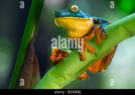 Splendid leaf frog (Agalychnis calcarifer) perched on leaf in rainforest, Costa Rica, Central America Stock Photo