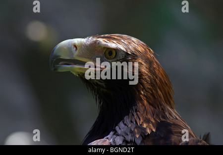 Australian Wedge Tail Eagle - Stock Photo