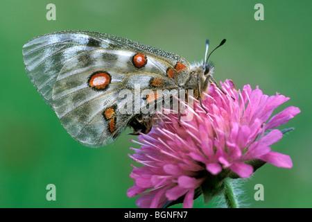 Apollo butterfly (Parnassius apollo) on Devil's bit scabious flower (Succisa pratensis), Gran Paradiso NP, Italy - Stock Photo
