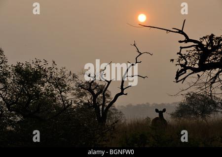 Deer in the jungles of Ranthambhore national park at sunrise - Stock Photo