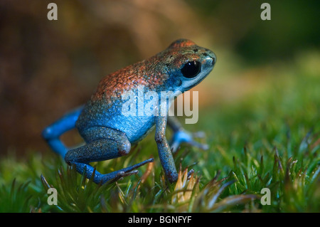 Strawberry poison frog / strawberry poison-dart frog (Oophaga pumilio / Dendrobates pumilio) in blue colour morph, - Stock Photo