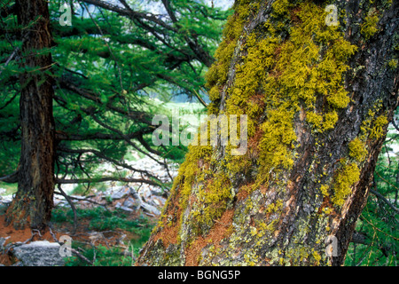 Beard lichen / tree moss / old man's beard (Usnea genus) on tree trunk in the Alps - Stock Photo