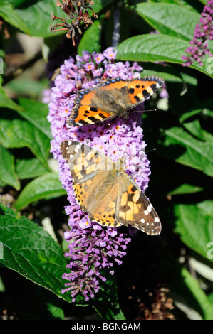 Small Tortoiseshell (top) and Painted Lady (bottom) butterflies feeding on buddleia flowers, Scotland, UK. - Stock Photo