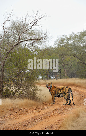 Flehman behaviour of a wild tiger on a road in Ranthambhore in a misty morning - Stock Photo