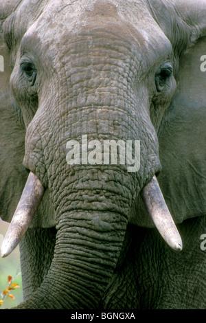 African elephant (Loxodonta africana) close up, Kruger National Park, South Africa - Stock Photo