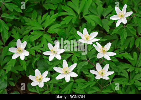Wood anemones (Anemone nemorosa) flowering in forest in spring - Stock Photo