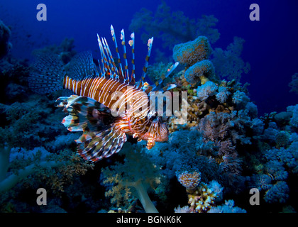 Lionfish swims over a block of corals in the red sea in egypt - Stock Photo