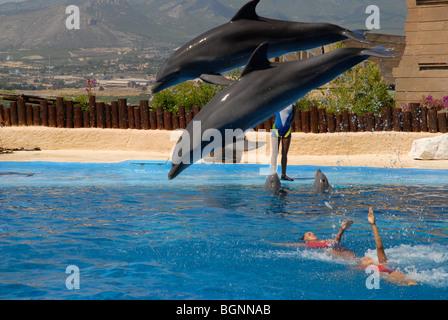 dolphins jumping at Dolphin Show, Mundomar, Benidorm, Alicante Province, Comunidad Valenciana, Spain - Stock Photo